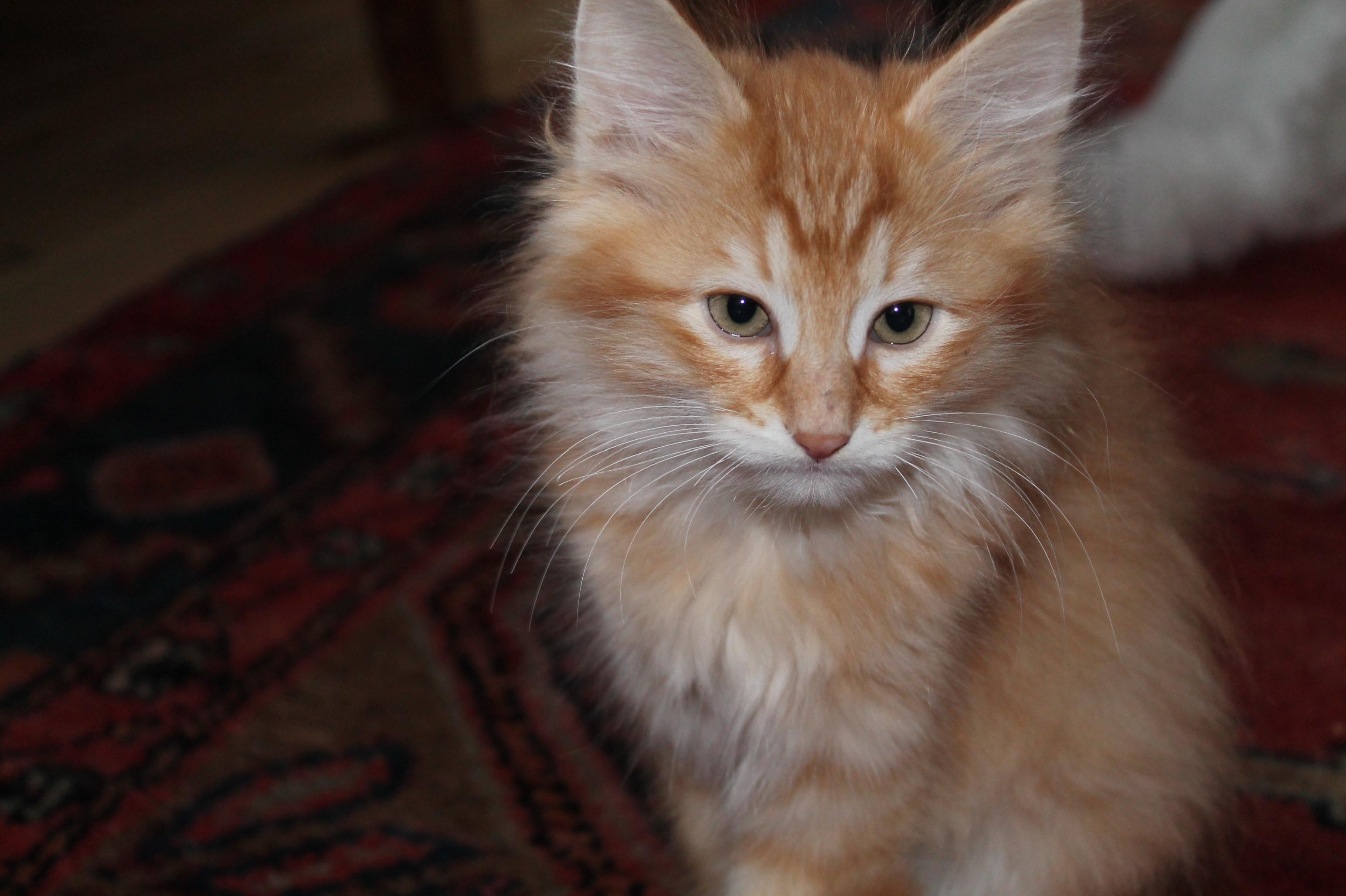 20130210 Kattungar elva veckor Omalley_1